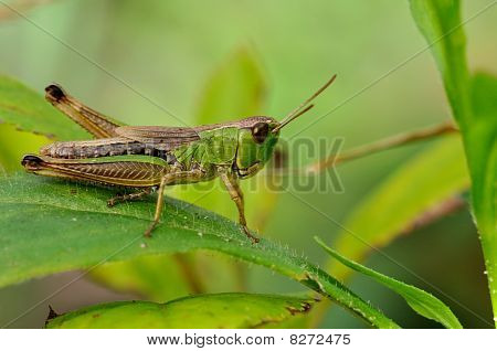 Green grasshopper closeup on mild green background