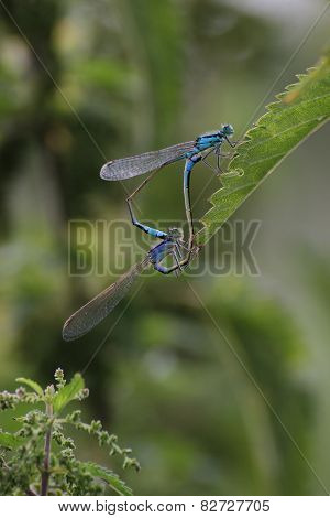 Mating Northern Bluets