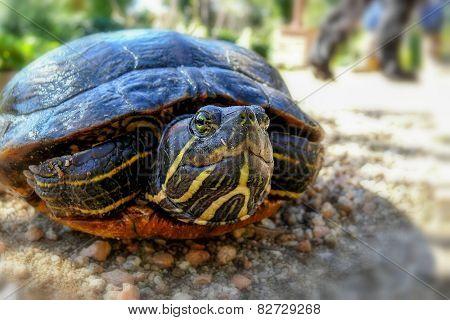 Turtle (pseudemys Concinna)