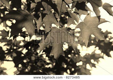 Maple Leaf - Sepia Tone