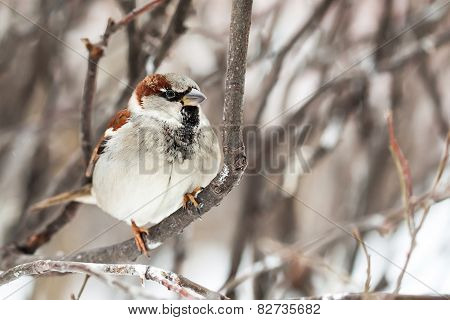 Sparrow Sitting On A Snow-covered Branch. Male Bird. Soft Focus.