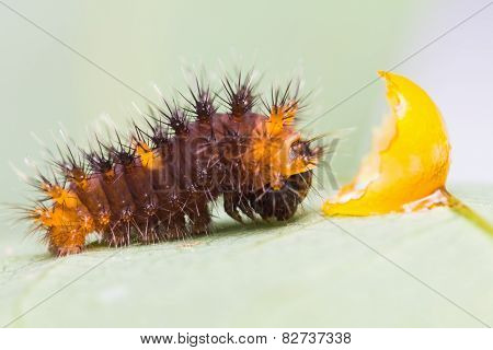 Golden Birdwing Caterpillar