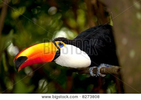 Toco Toucan in deep (Ramphastos toco) for background use