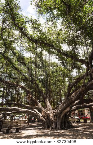 The Banyan Tree in Lahaina, Hawaii