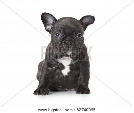 One Month Old French Bulldog Puppy Over White