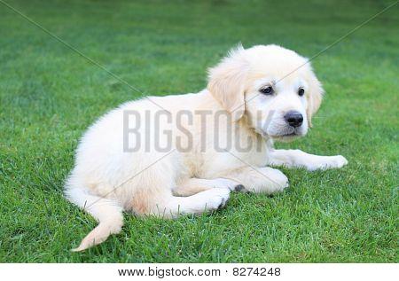 Golden Retiever Puppy