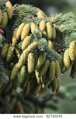 Young White Spruce Cones