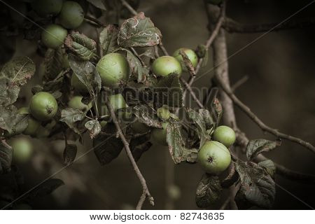 Sepia Apples