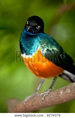 GOLDEN BREASTED STARLING