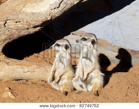 Two meerkats looking in same direction