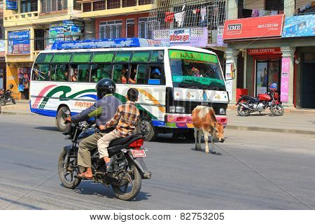 POKHARA, NEPAL - APRIL 2014 : A cow roaming the street freely in Pokhara city, Nepal on 15 April 2014. It is not permitted to harmed cows as they are considered holy and sacred to Hindus.