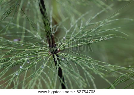 Wood Horsetail Leaves