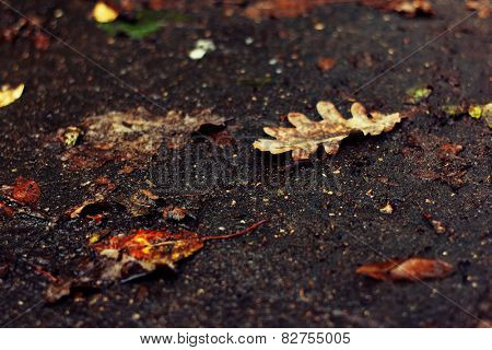 Fallen oak leaf on a dirt road
