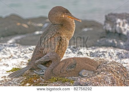 Flightless Cormorant And Its Baby On Its Nest