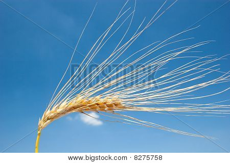 Ripe barley head in front of blue sky