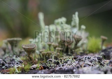 Cup Lichens
