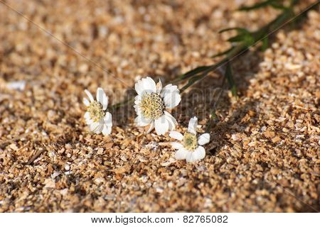 Sneezewort Blossoms