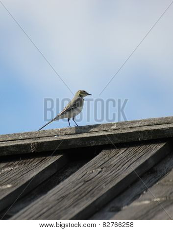 White Wagtail On The Roof