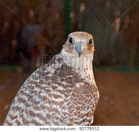 Hunting Falcons, Abu Dhabi, United Arab Emirates