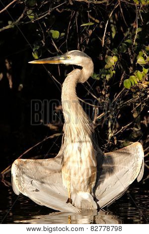 Great Blue Heron Drying Wings