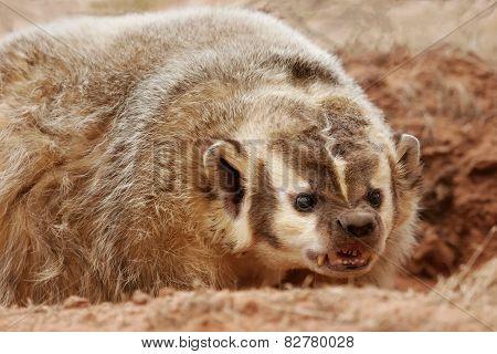 American Badger (taxidea Taxus)