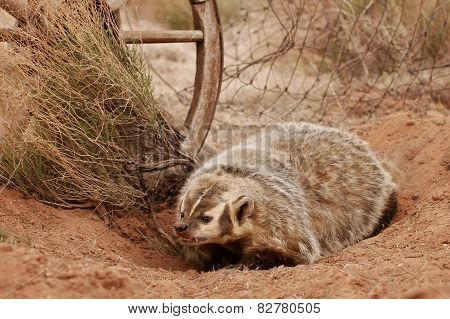 American Badger Sitting On The Dirt Ground