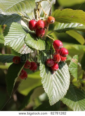 Whitebeam Fruits