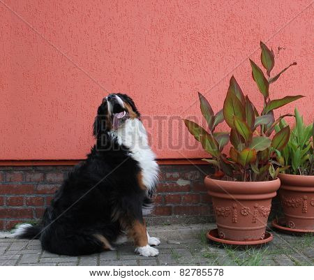 Bernese Mountain Dog Besides Plants