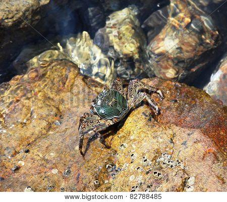 European green crab