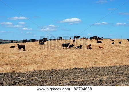 Bulls in field, Medina Sidonia.