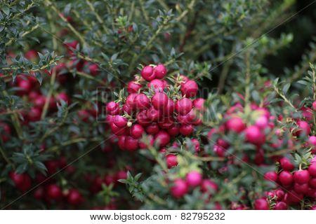 Gaultheria Mucronata