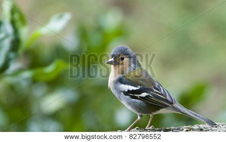 The Little Finch Of The Island Madeira