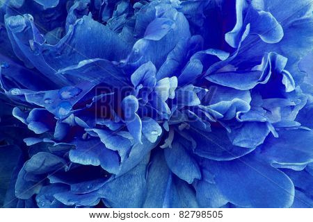 Blue peony background