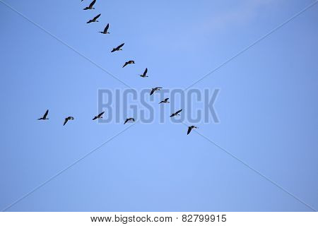 Flock Of Gray Geese