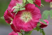 picture of hollyhock  - Common hollyhock (Alcea rosea) in a garden.
