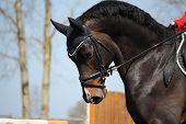 stock photo of bay horse  - portrait of brown sport horse during horse competition - JPG
