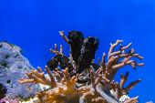 picture of seahorse  - Three blacks seahorses play over a coral - JPG