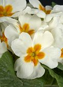 foto of cowslip  - particular of  some white primroses in a small vase - JPG