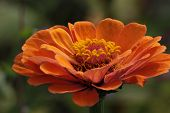 foto of century plant  - Flower head of an orange daisy plant (asteraceae).