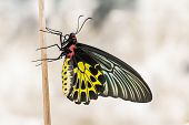 pic of stick-bugs  - Close up of female golden birdwing  - JPG