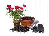 image of ripper  - Transplanting potted roses - JPG