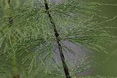 stock photo of horsetail  - Leaf node of a wood horsetail  - JPG