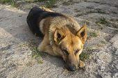 stock photo of rabies  - German Shepherd relaxed resting on the floor - JPG