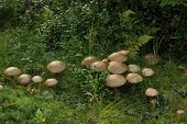 stock photo of bolete  - Big group of birch boletes (Leccinum scabrum) in Sweden.