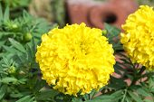 pic of marigold  - Yellow marigold flower in the garden, Yellow Marigold flower.