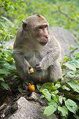 stock photo of bangladesh  - The Rhesus Macaque Macaca mulatta is one of the best - JPG
