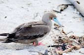 pic of booby  - a galapagos island endangered red footed boobies - JPG