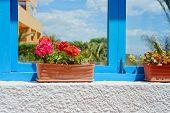 foto of geranium  - Red geranium flowers in pot in front of blue window frame - JPG