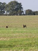 picture of deer family  - A family of three roe deer  - JPG