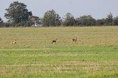 stock photo of deer family  - A family of three roe deer  - JPG